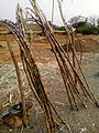 Sugarcanes for sale.jpg