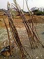 Sugarcanes for sale.jpg