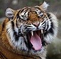 Sumatran Tiger 2 (6964693266).jpg