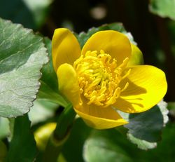 驢蹄草 Caltha palustris