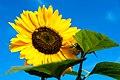 Sunflower (14402159149).jpg