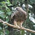 Swainson's Hawk 5.jpg
