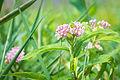 Swamp Milkweed (Asclepias incarnata) (19931047191).jpg