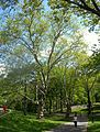 Sycamore SW of Great Lawn jeh.jpg