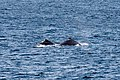 Sydney (AU), Pacific Ocean, Humpback Whales -- 2019 -- 3363.jpg