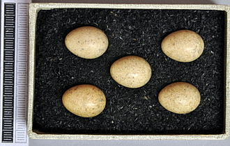 Common whitethroat - Eggs, Collection Museum Wiesbaden, Germany