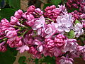 Syringa 'Paul Deschanel' 01.jpg