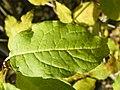 Syringa villosa (1).jpg