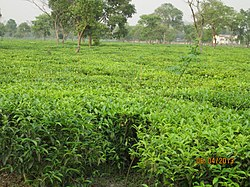 Tea Estate at Bagdogra