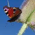 Tagpfauenauge (Inachis io) auf Distel-7268.jpg