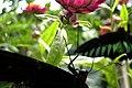 Tanah Rata, Malaysia, Butterflies 3.jpg