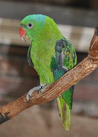 Blue-naped parrot - Image: Tanygnathus lucionensis qtl 1