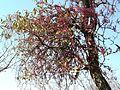 Tapinanthus rubromarginatus, habitus, a, Waterberg.jpg