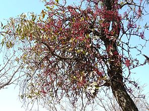 Tapinanthus rubromarginatus auf Faurea saligna in Waterberg, Südafrika