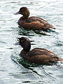 Taupo Ducks-2532.jpg
