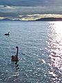 Taupo Sunset Swans-2661.jpg