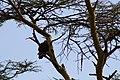Tawny Eagle (7513744990).jpg