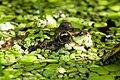 Teichfrosch Pelophylax esculentus Gruga 003.jpg
