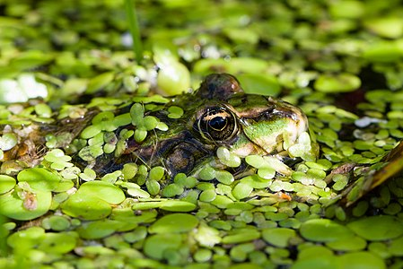Close-up of Edible Frog (Pelophylax esculentus)