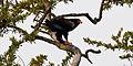 Terathopius ecaudatus in Kruger National Park 06.jpg