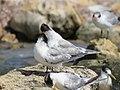 Terns at Woodman Spit, April 2021 04.jpg