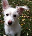 Terrier Puppy.jpg