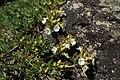 Teucrium montanum kz01.jpg