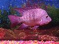 Texas Fish - Herichthys cyanoguttatus.jpg