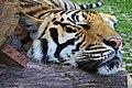 Thaïlande - Phuket - Tiger Kingdom (13306449394).jpg