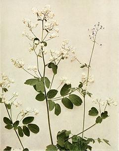 Thalictrum pubescens WFNY-072.jpg