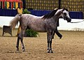 The Arabian Stallion Farhoud Al Shaqab (8308132317).jpg