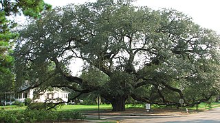 The Big Oak