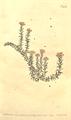 The Botanical Magazine, Plate 435 (Volume 13, 1799).png