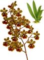 The Orchid Album-01-0098-0032-Oncidium Haematochilum-crop.png