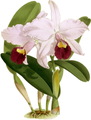 The Orchid Album-01-0137-0045-Cattleya trianae-crop.png