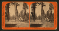 The Sentinels, 315 feet high, near view - Section of the Big Tree and House over the Stump, by Lawrence & Houseworth 2.png