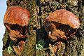 The already several times photographed Fomitiporia robusta or Phellinus robustus (Robust Bracket, D= Eichenfeuerschwamm, NL= Eikenvuurzwam). See description^ at 21 December 2014 - panoramio.jpg