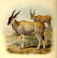 The book of antelopes (1894) Taurotragus oryx livingstonii.png