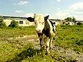 The farm - panoramio - Oleg Seliverstov (2).jpg