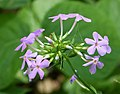 Thickleaf Phlox (Phlox glaberrima or P. carolina) (1) (38381140524).jpg