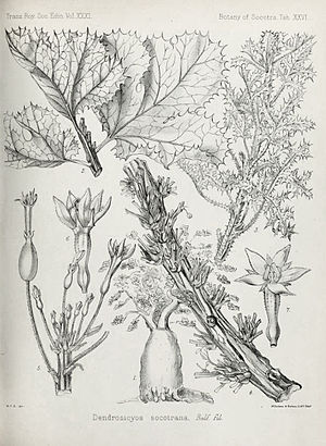Harriet Anne Thiselton-Dyer - Drawing of the twigs, foliage, and flowers of Dendrosicyos socotrana. The two lower left elements were copied from another source (Schweinfurth), but all the others were drawn by Harriet Anne Thiselton-Dyer from dried specimens.