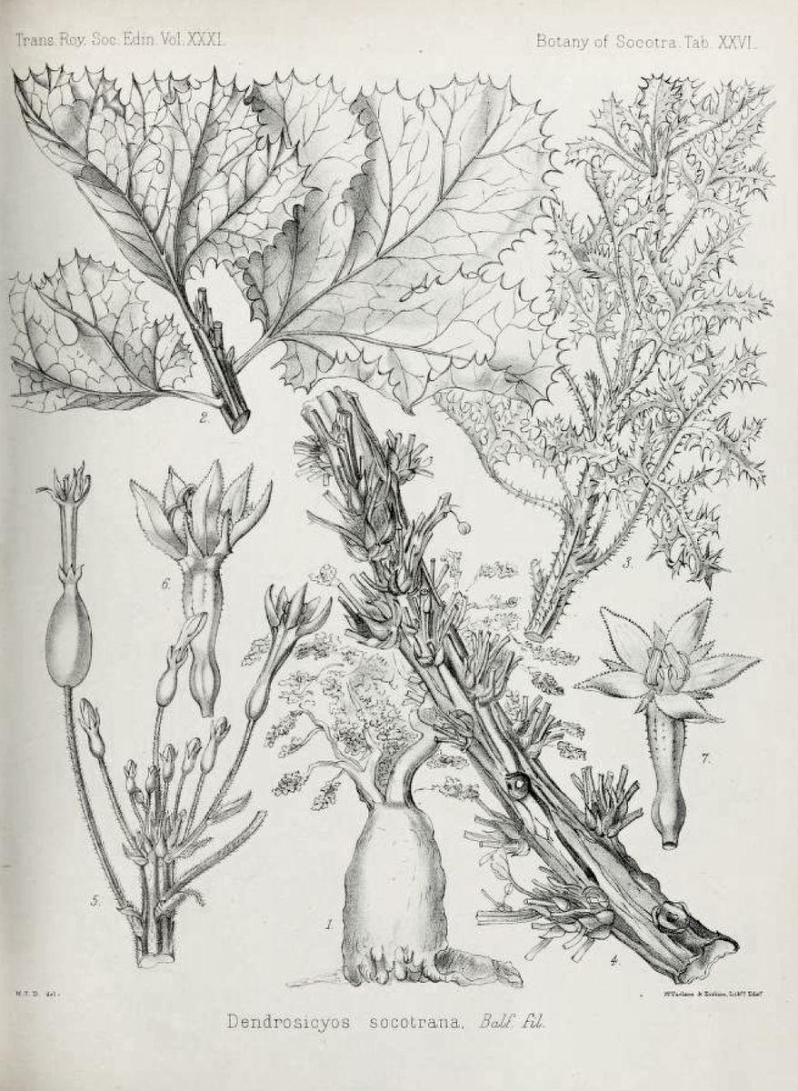 Harriet Anne Hooker Thiselton-Dyer