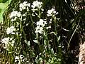 Thlaspi montanum (5027047575).jpg