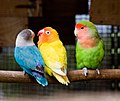 Three lovebirds on a perch-8a.jpg