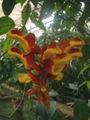 Thunbergia mysorensis01.jpg