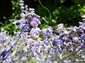 Thymus herba-baronai 'Caraway Thyme' (Labatae) flowers.JPG