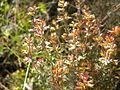 Thymus vulgaris 2601.JPG