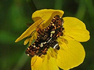 <i>Thyris fenestrella</i> species of insect
