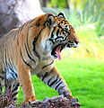 Tiger roaring in jungle.jpg