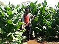 Tobacco irrigation.jpg